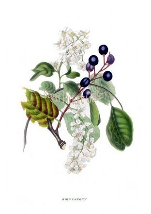Bird Cherry by Rebecca Hey 1837